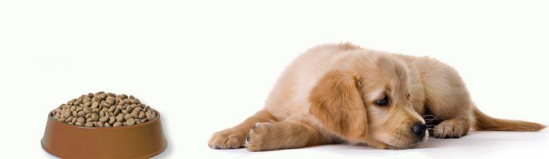 Щенок плохо ест сухой корм: что делать?