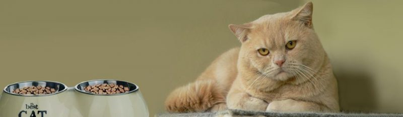 Кот отказывается от сухого корма: что делать?