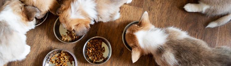 С какого возраста кормить щенков сухим кормом