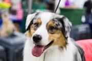 Интернациональная выставка собак РОССИЯ–2018