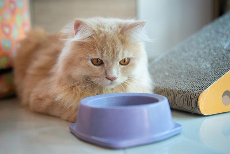 Кормить ли кошку сухим кормом?