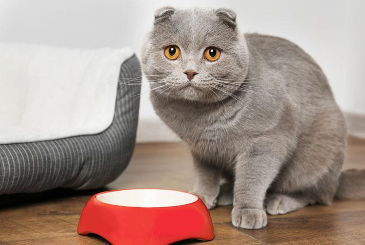 Кормить ли кота сухим кормом?