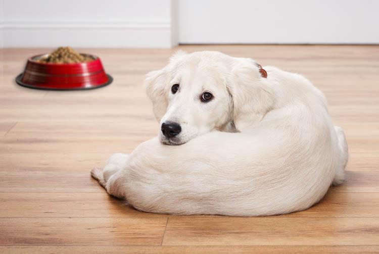 Понос у щенка от сухого корма, основные причины