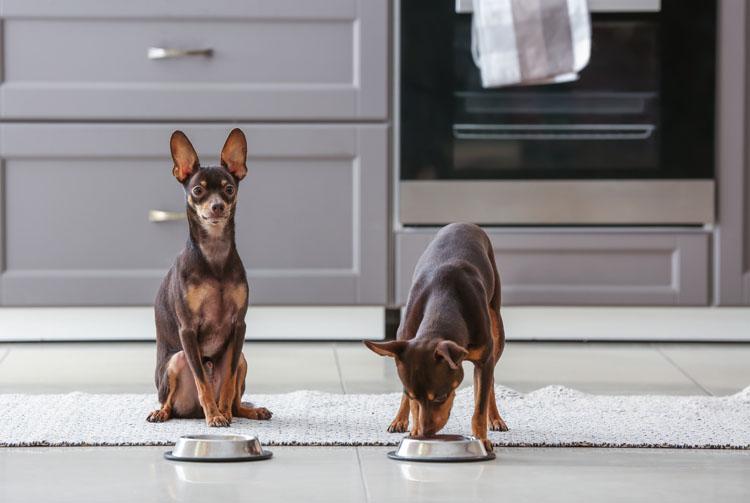 Чем кормить собаку, натуралкой или сухим кормом?
