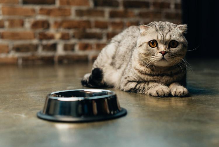 Чем кормить кота — «натуралкой» или сухим кормом?