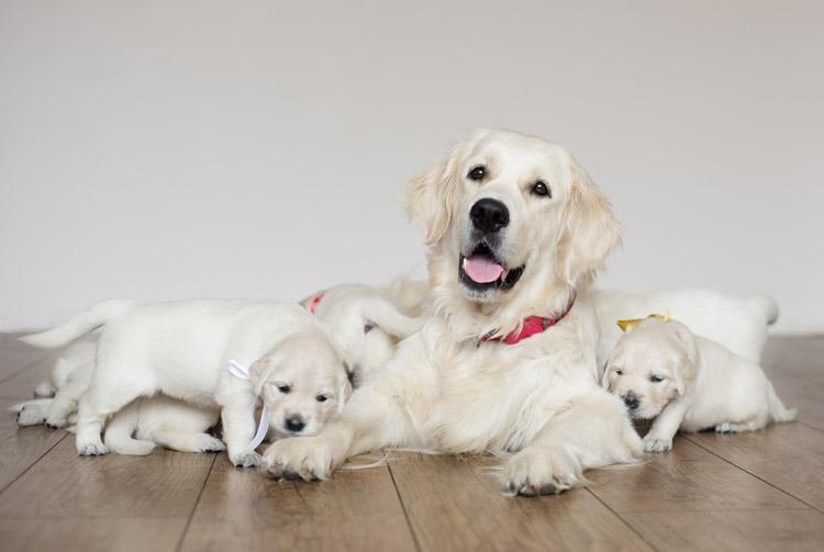 Рацион питания кормящей собаки