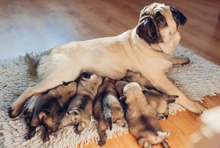 Рацион собаки после родов
