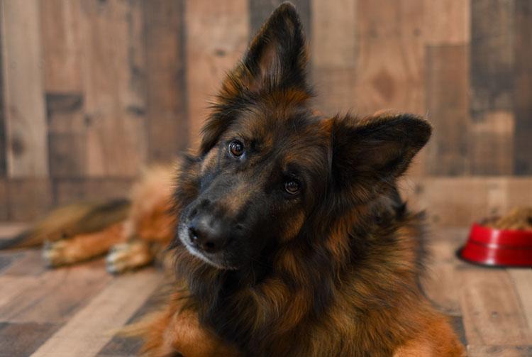 Немецкая овчарка: питание взрослых и растущих собак