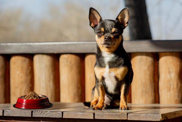 Порода собак чихуахуа: питание по всем правилам