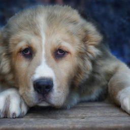 Среднеазиатская овчарка или алабай: собака, питание, особенности