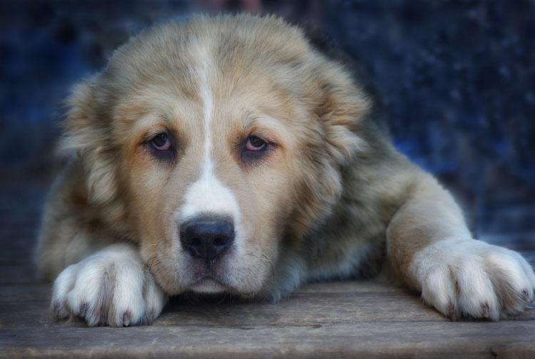 Алабай: особенности питания собаки