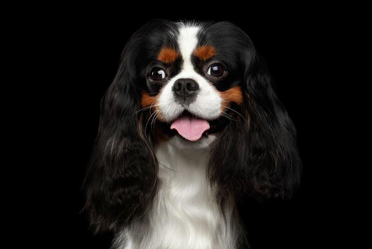 Питание собаки спаниель
