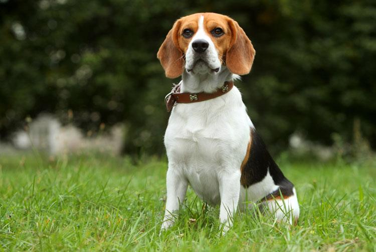 Собака породы бигль: питание и уход