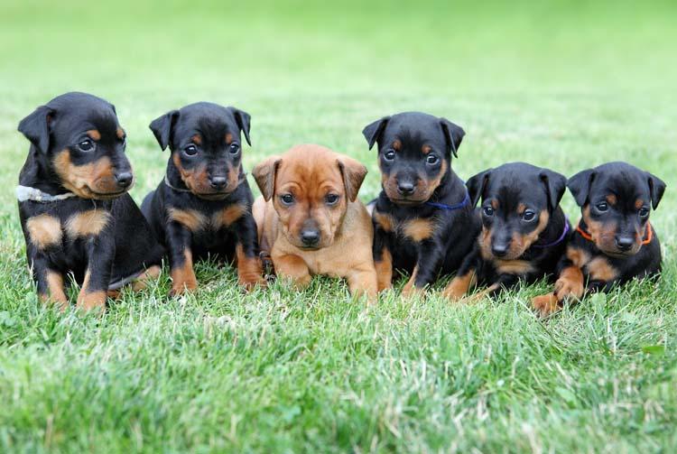 Рацион щенка пинчера: количество и режим кормления