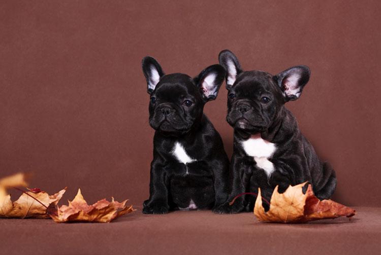 Рацион щенка французского бульдога: выбираем лучшее!