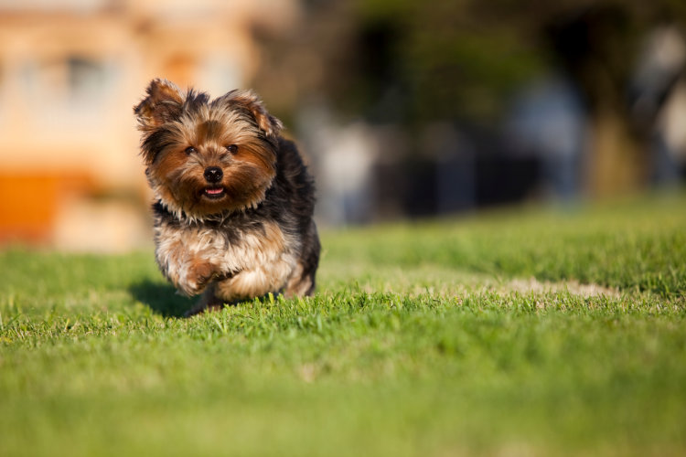Рацион щенка йоркширского терьера