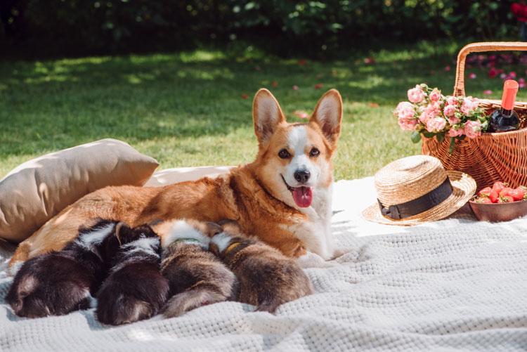 Питание после родов: рацион кормящей собаки